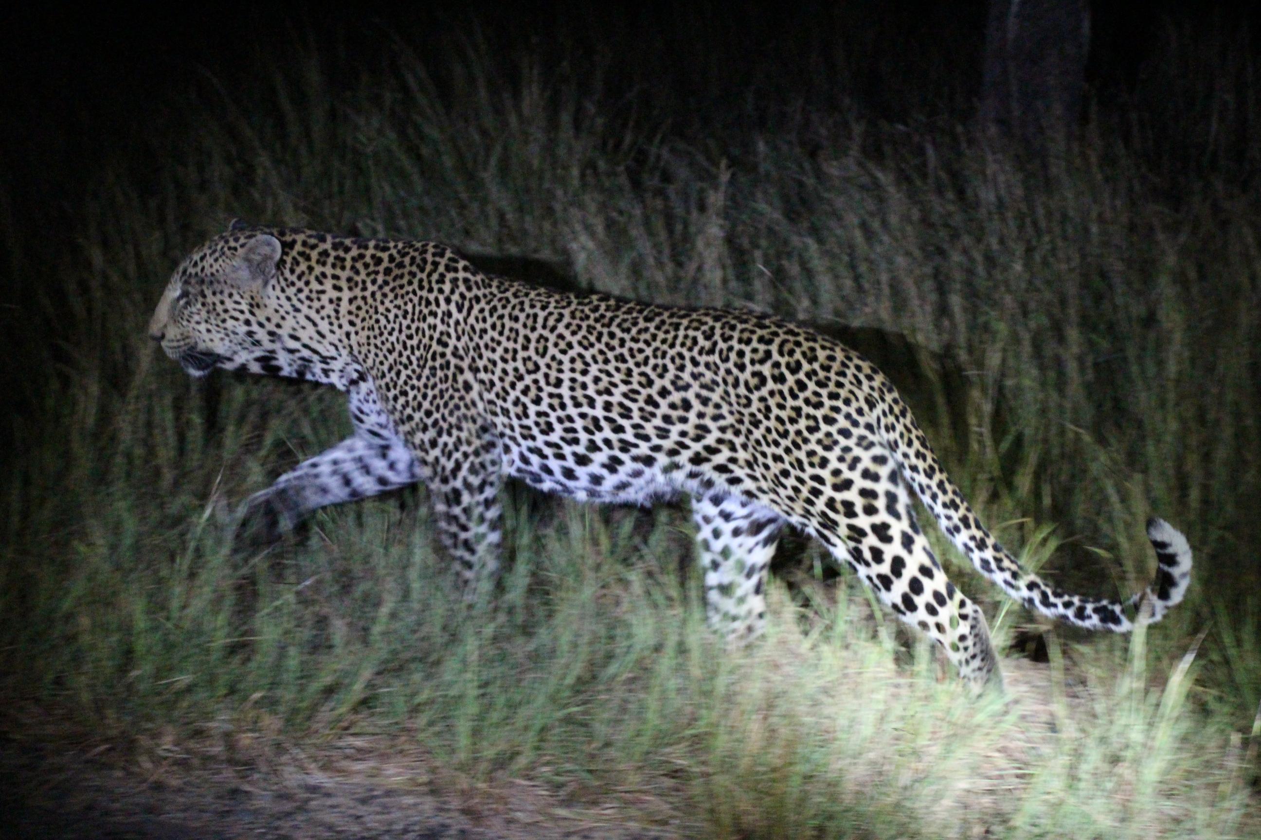 Leopard Spear.JPG