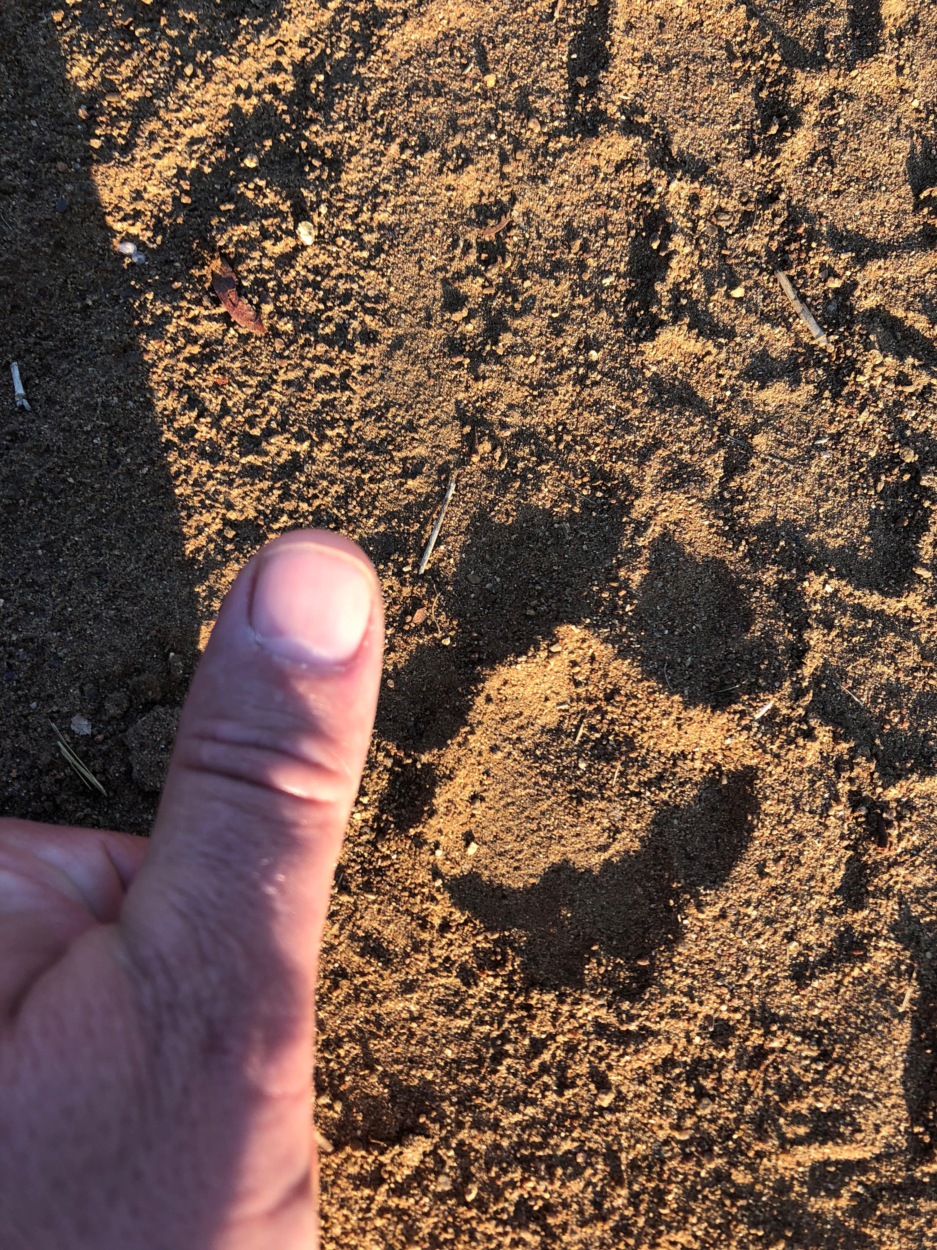 Leopard Track.jpg