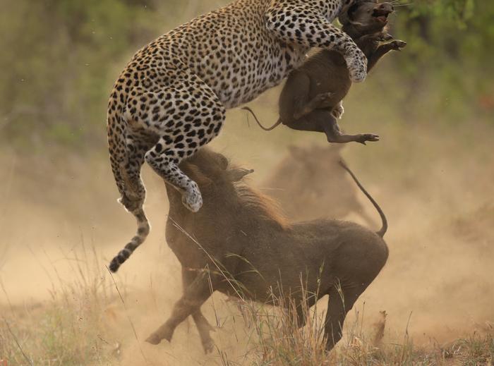 leopard-warthog-fight.jpg