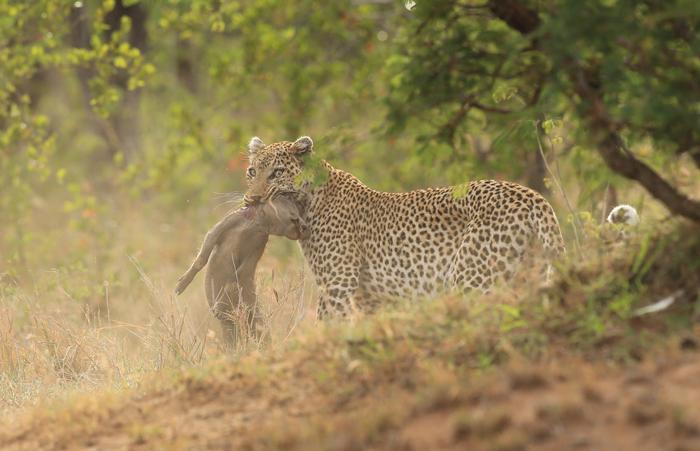 leopard-warthog-piglet.jpg