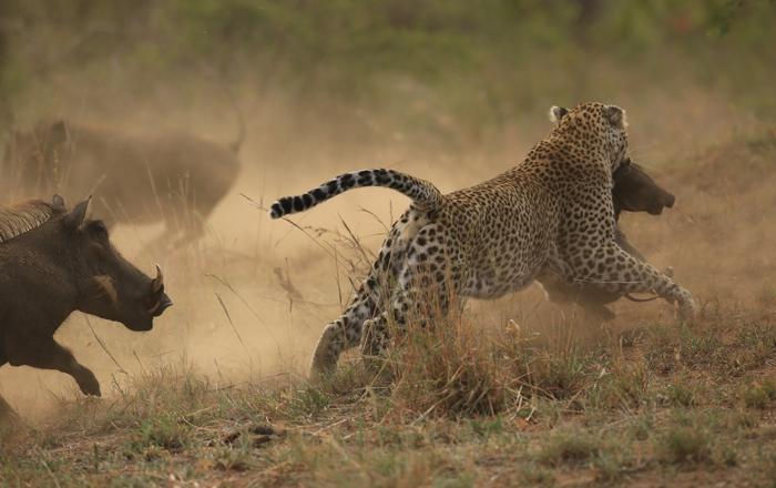 leopard-warthogs-fight.jpg