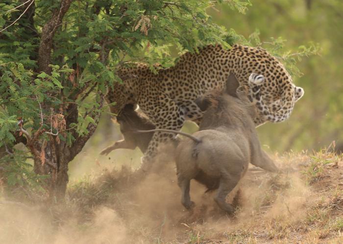 leopard-warthogs.jpg