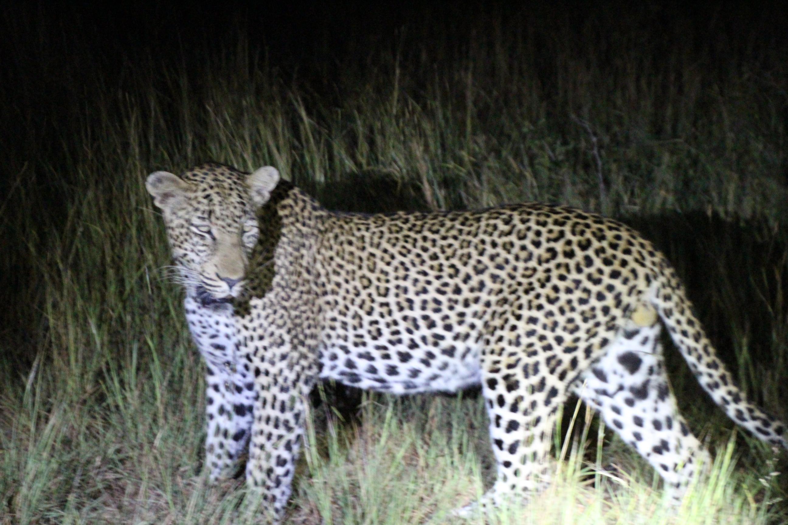 Leopard1 Sper.JPG