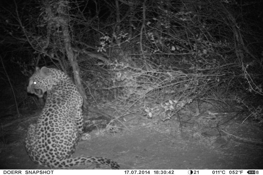 Leopard_Baiting.JPG
