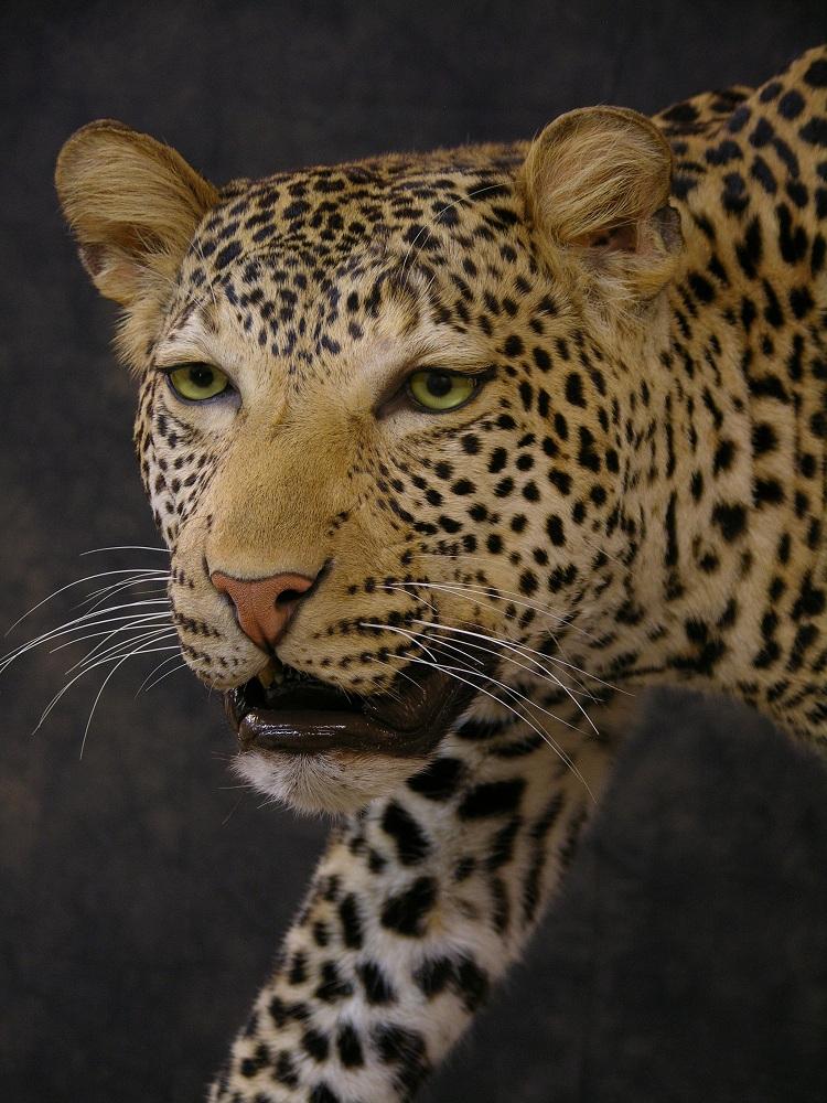 Leopard_david_2.jpeg
