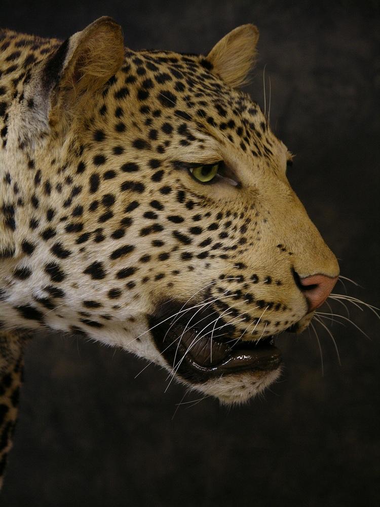 Leopard_david_4.jpeg