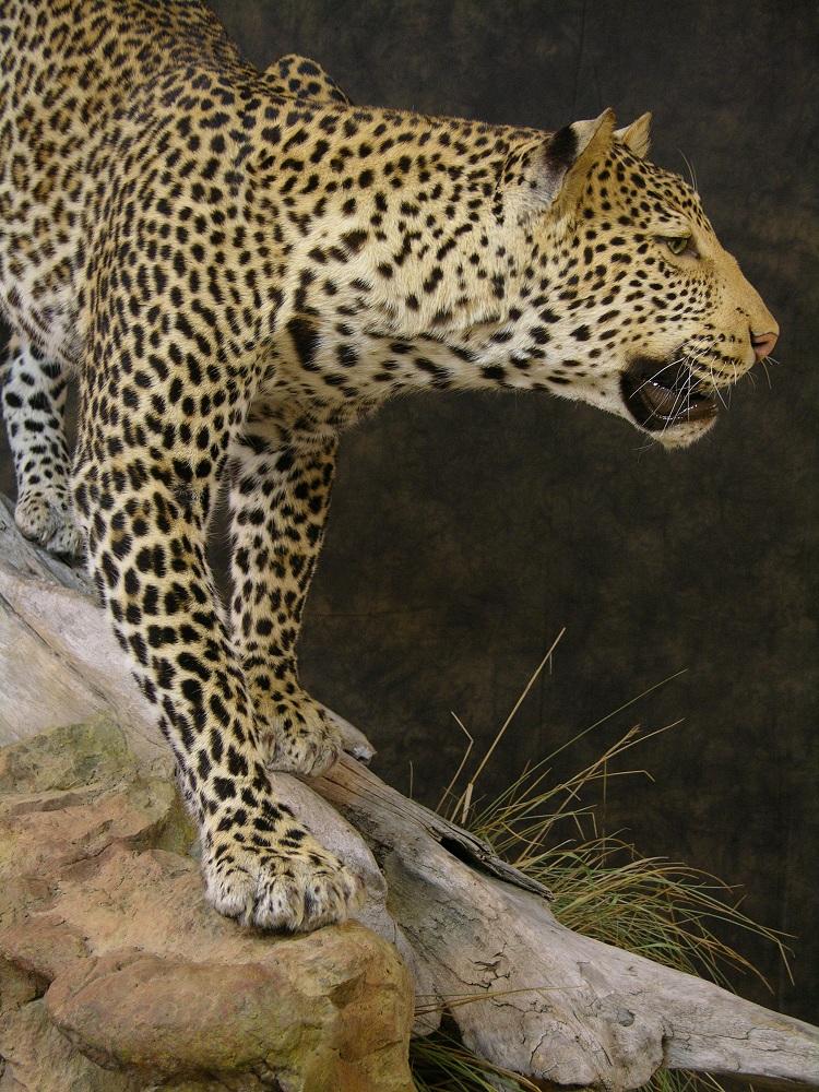 Leopard_david_6.jpeg