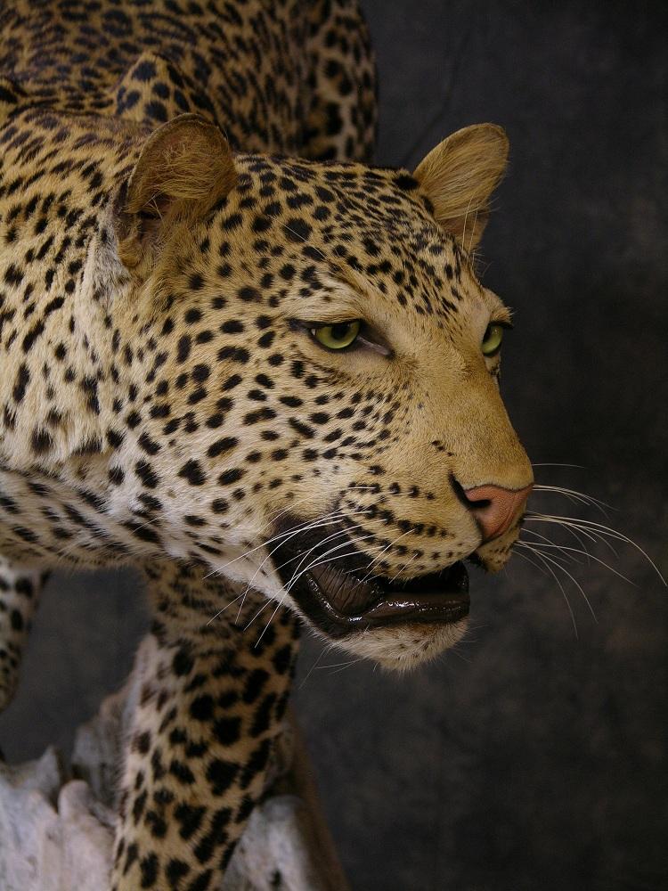 Leopard_david_8.jpeg