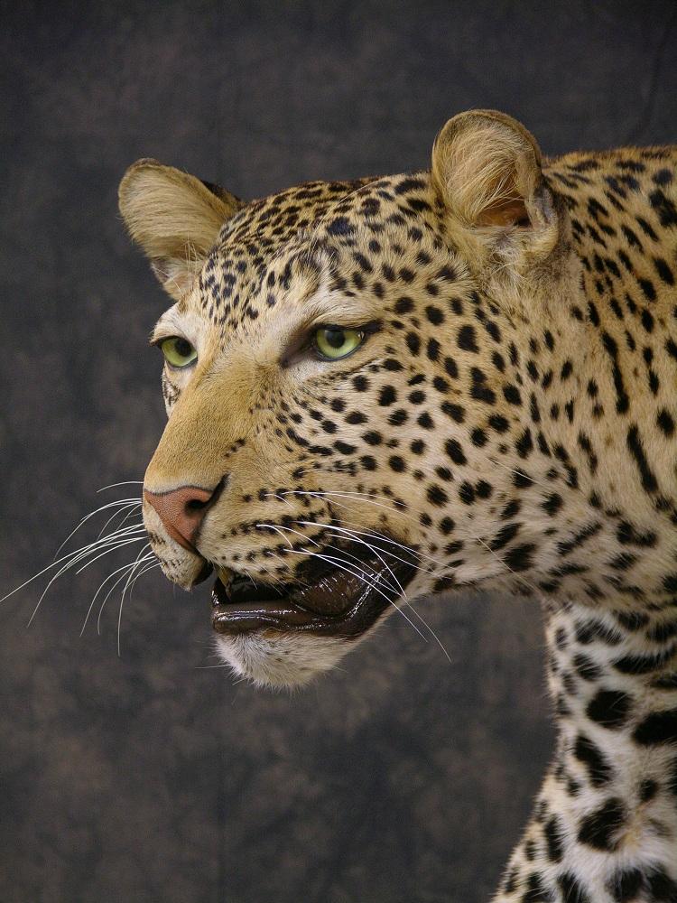 Leopard_david_9.jpeg