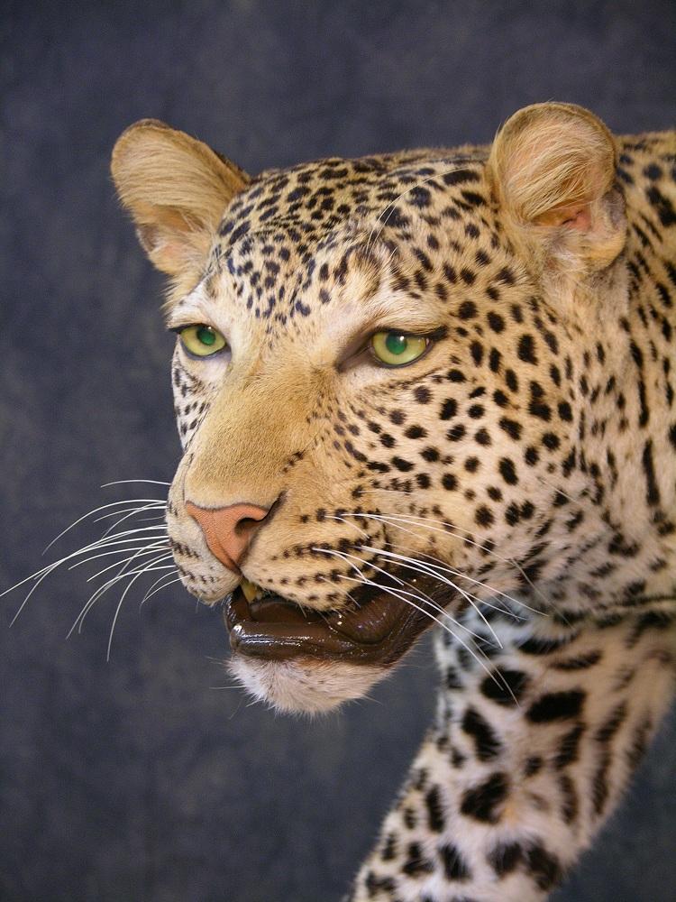Leopard_david_99.jpeg