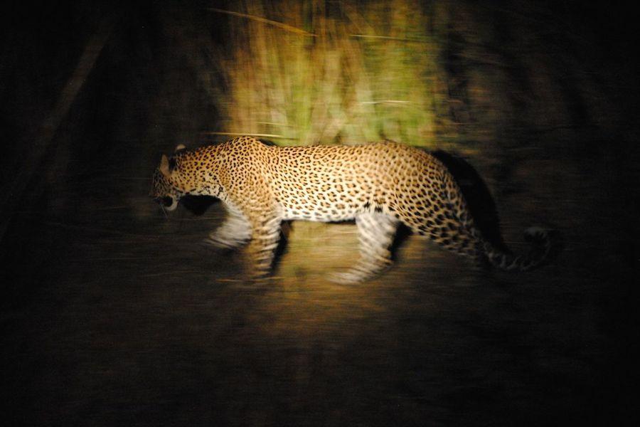 Leopard_spotlight.JPG