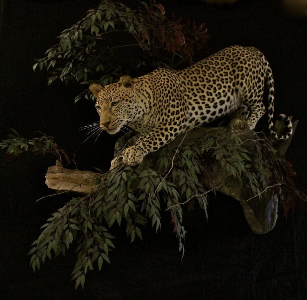 Leopardintree_zpsd76168b8.jpg
