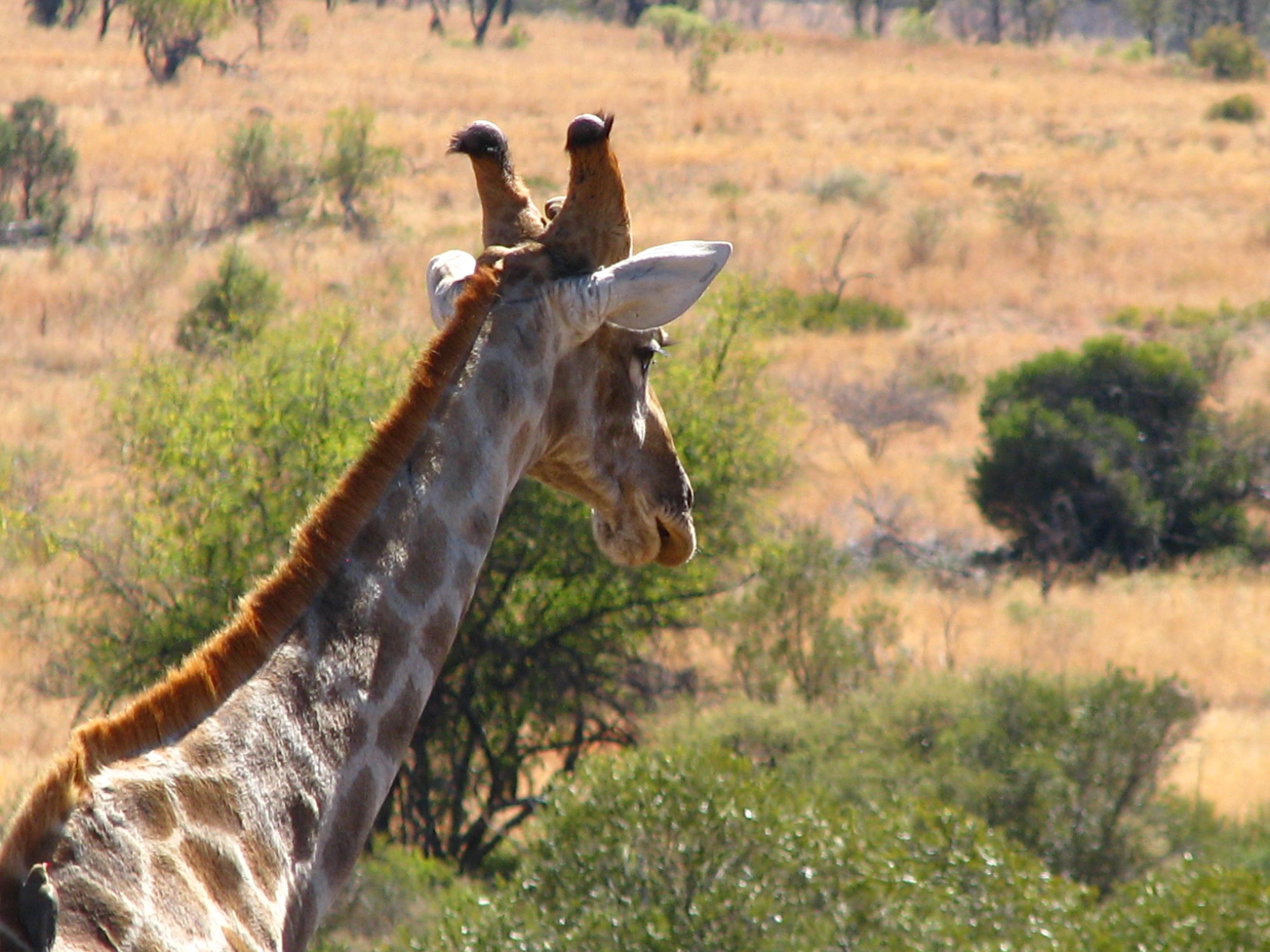 Limcroma Safaris Terry\'s Giraffe.JPG