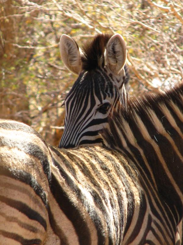 Limcroma Safaris Terry\'s Zebra.jpg