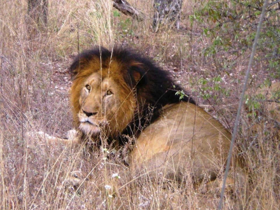 lion-02-4e387409d2.jpg