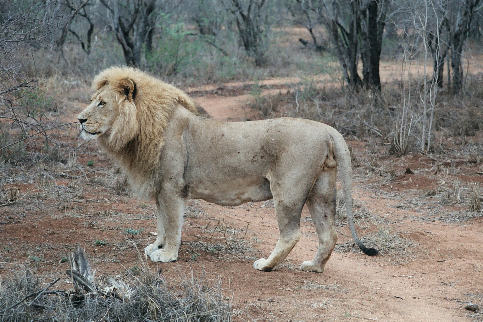 Lion 7.jpg