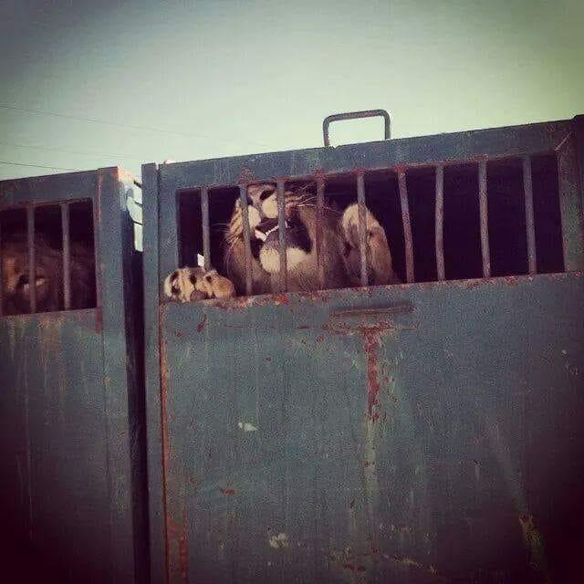 lion-cage.jpg