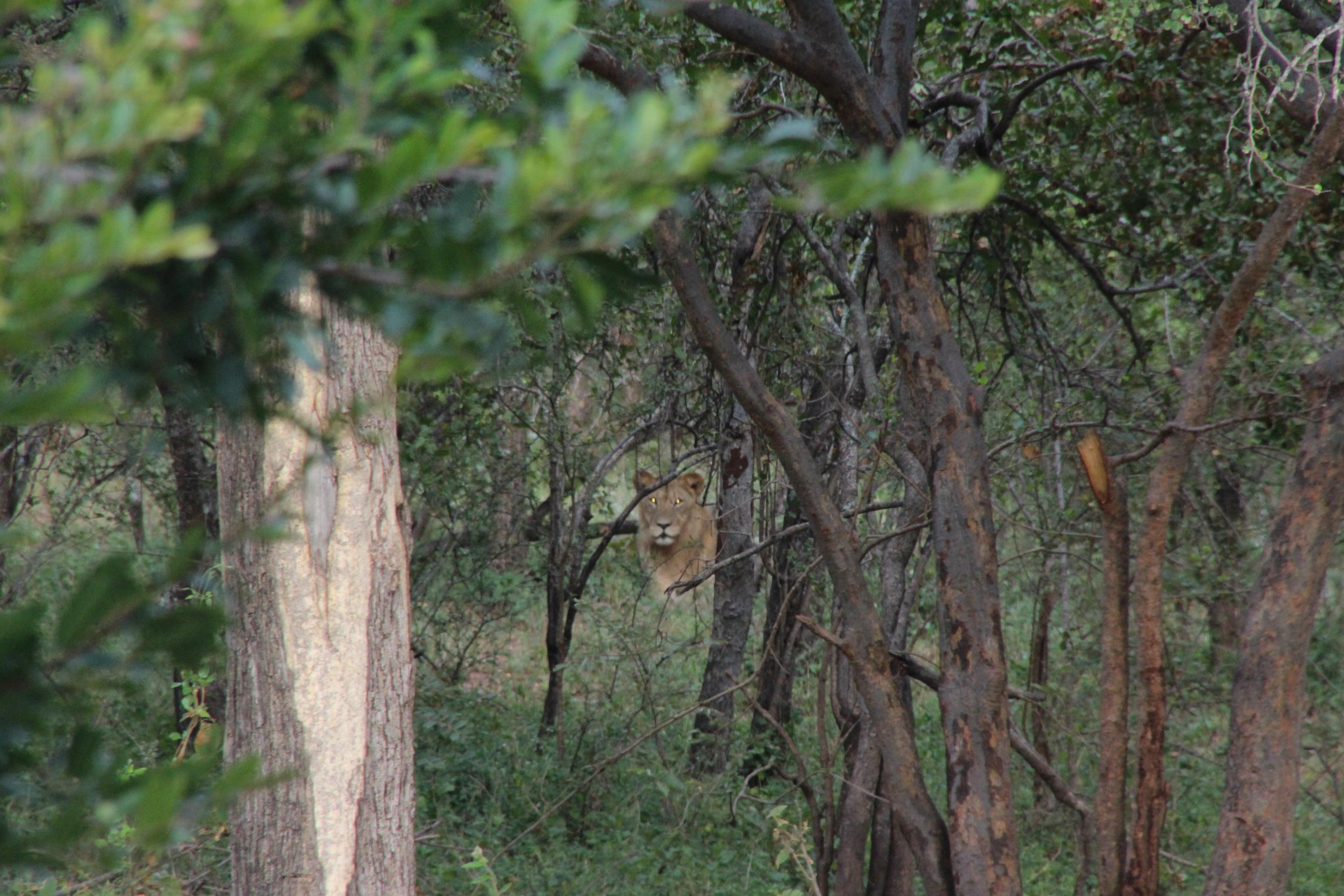 Lion day 1 Spear April2015.JPG