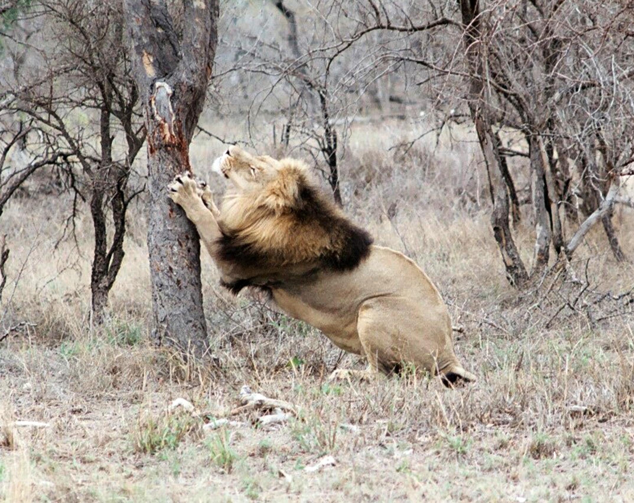 Lion Marking territorycrop.jpg