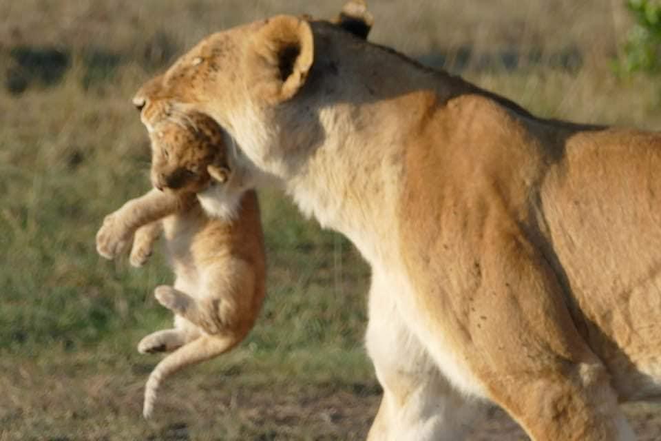 Lioness 1.jpg