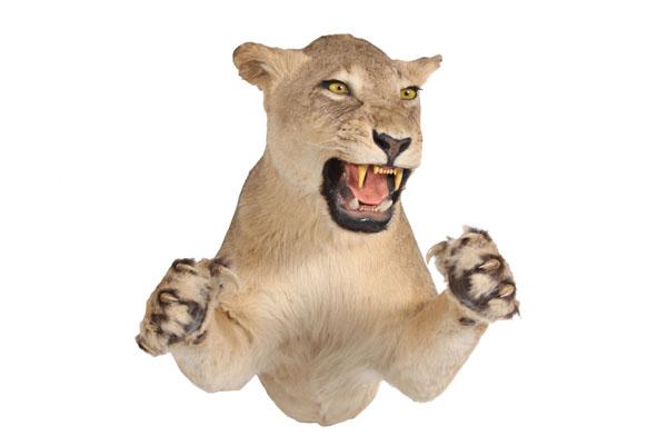 Lioness-Half-Mount.jpg