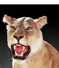 lioness_full_mount516943019.jpg