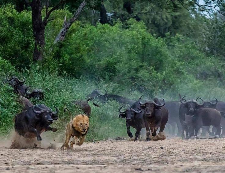 Lions and  Buffalo's_10.jpg