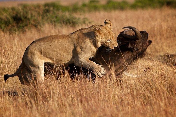 Lions and  Buffalo's_3.jpg