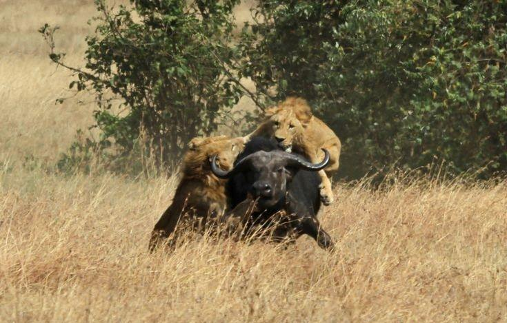 Lions and  Buffalo's_5.jpg