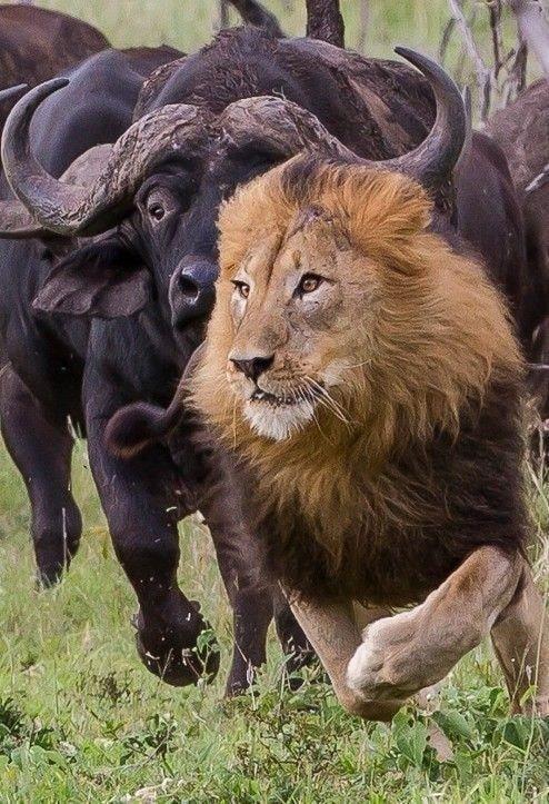 Lions and  Buffalo's_6.jpg