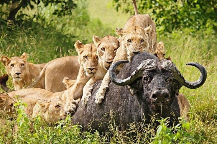 Lions and  Buffalo's_8.jpg