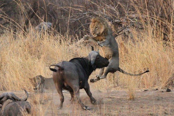 Lions and  Buffalo's_9.jpg