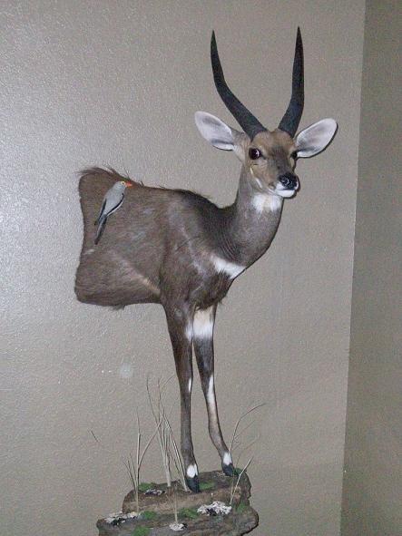 LS bushbuck.JPG