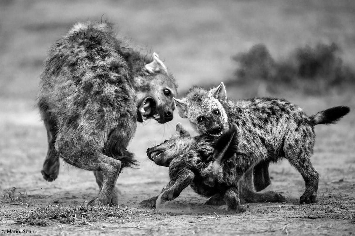 Manoj-shah-hyena-play-Maasai-Mara-Kenya-1.jpg