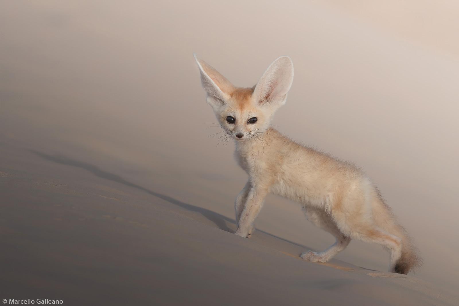 Marcello-Galleano-fennec-fox-Tunisian-desert-1.jpg