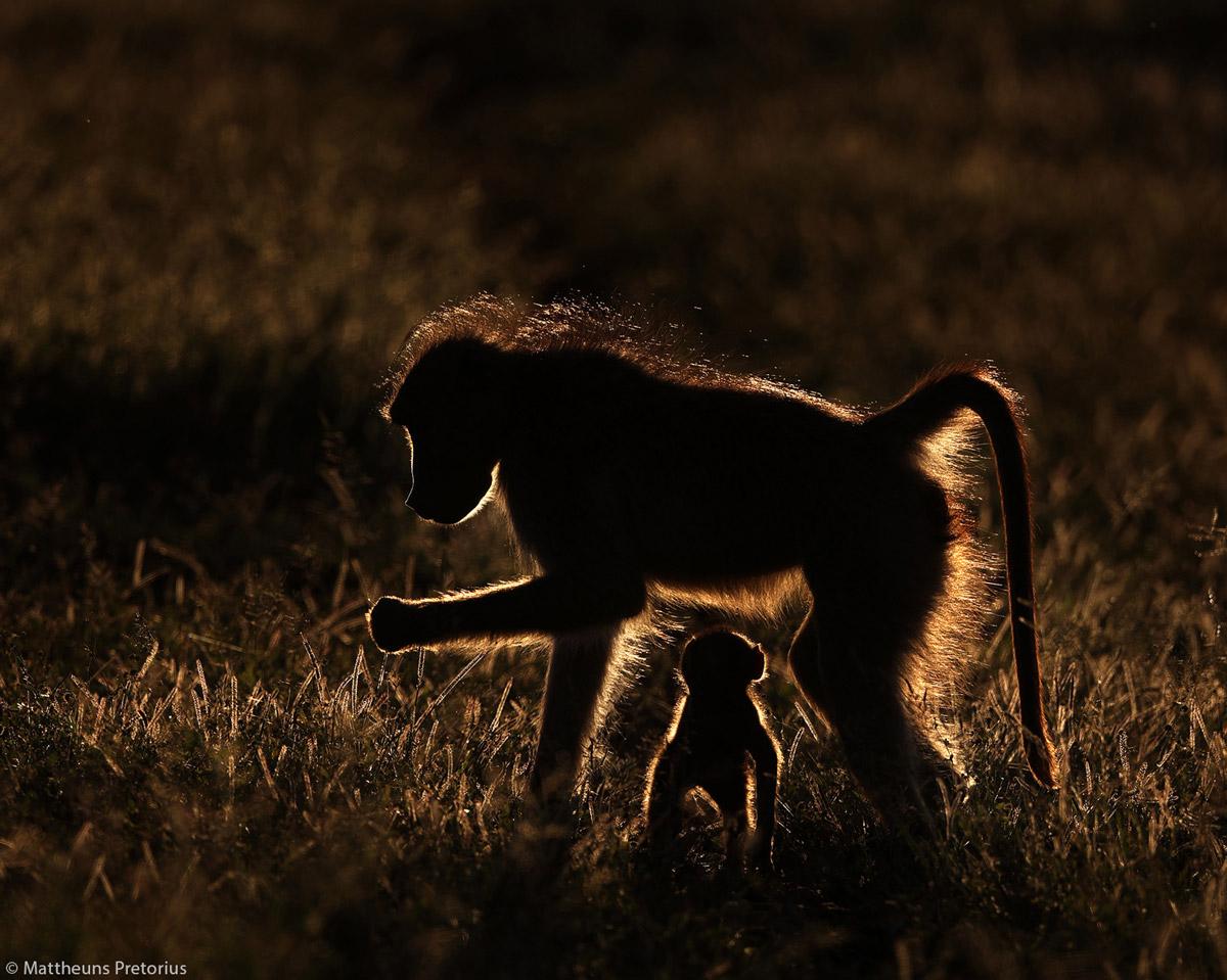 Mattheuns-Pretorius-baboon-Protection-KNP-SA-1.jpg
