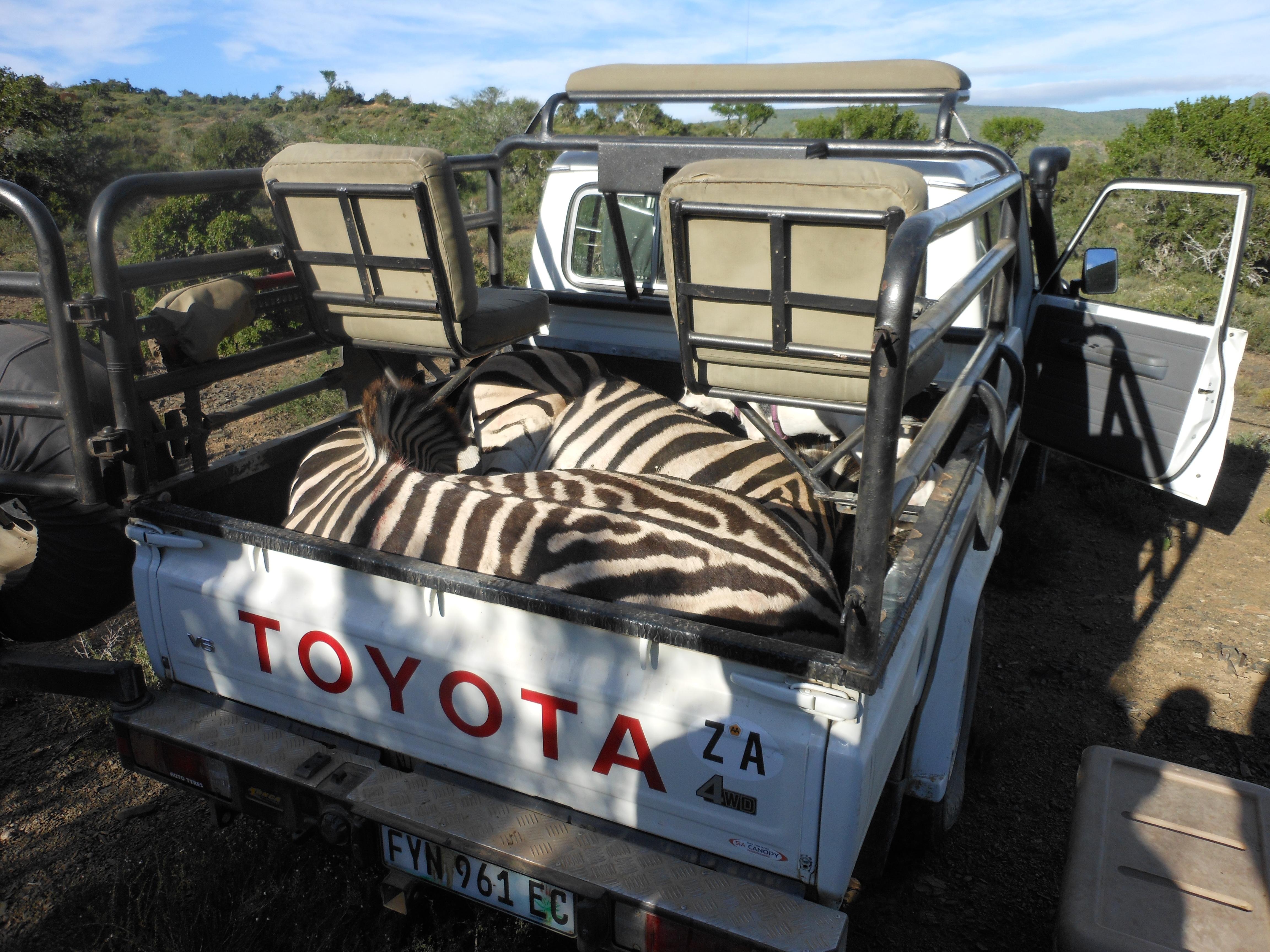 MJR MBR Zebra 2.JPG
