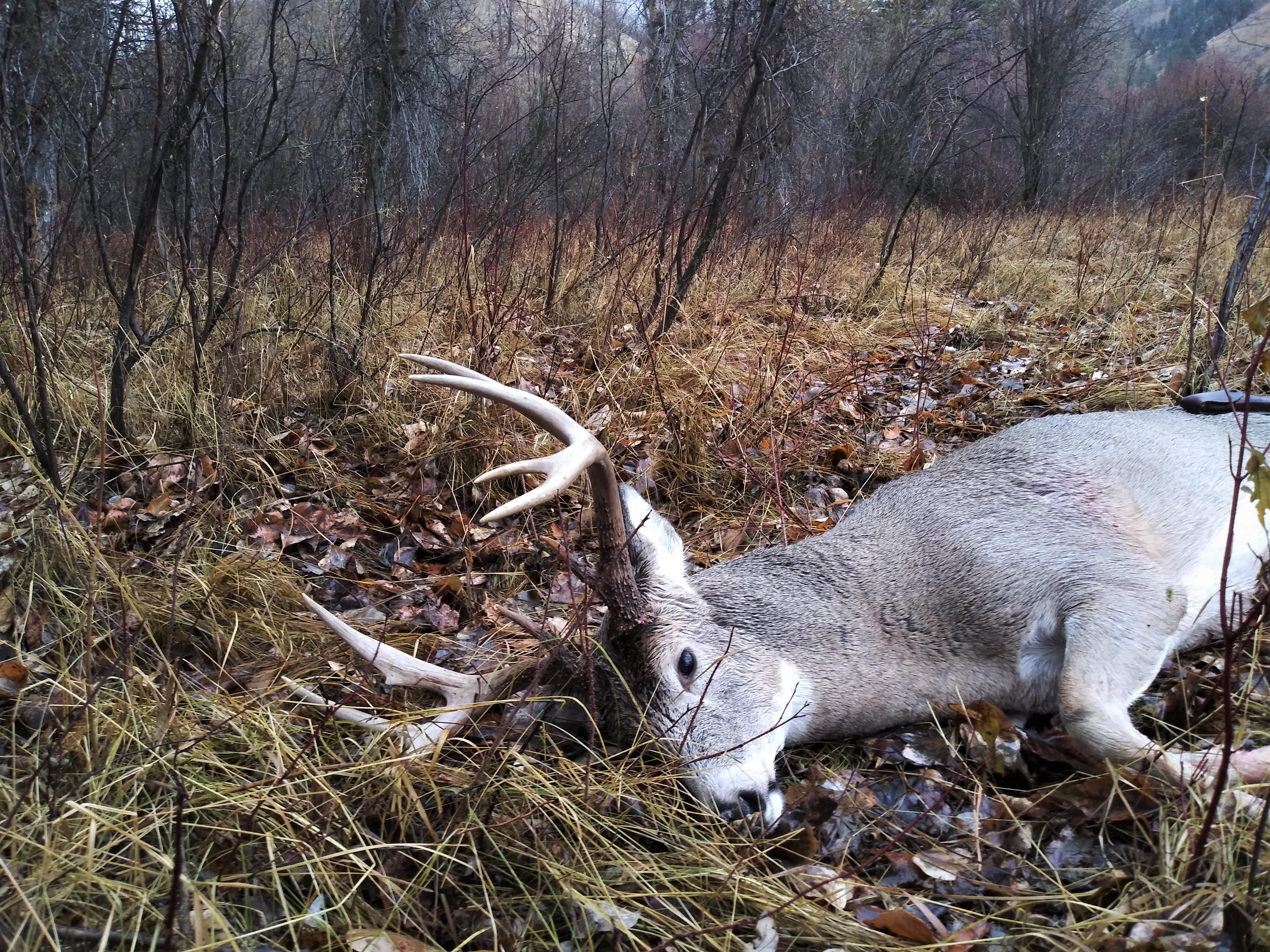 Montana deer 2.jpg