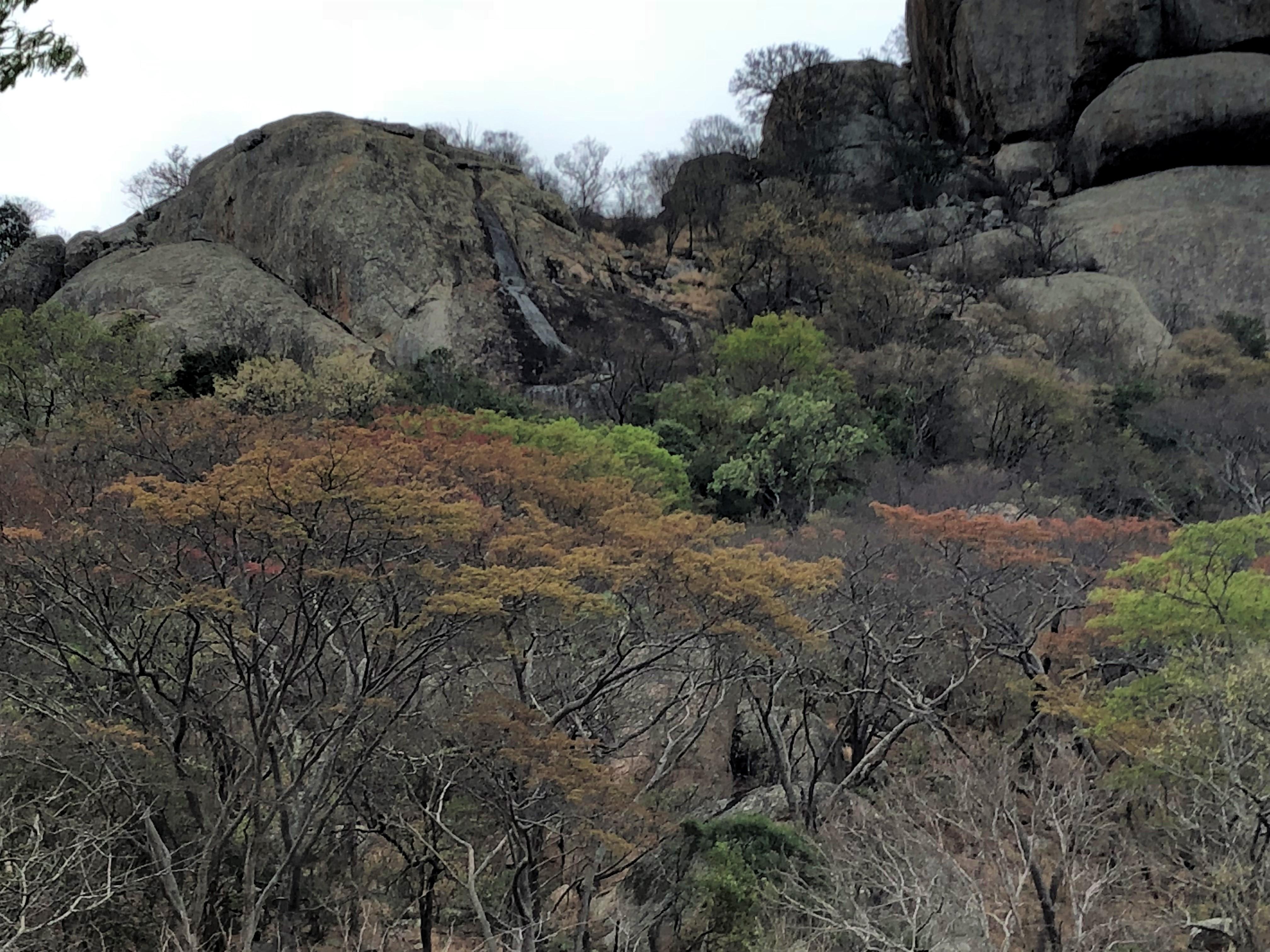 Mountain acacia.jpg