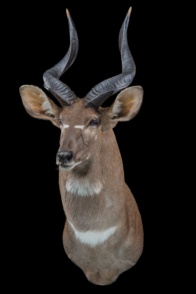 Mountain-Nyala-Shouldermount-straight-dd-315.jpeg.JPG