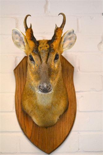 Muntjack Deer.jpg