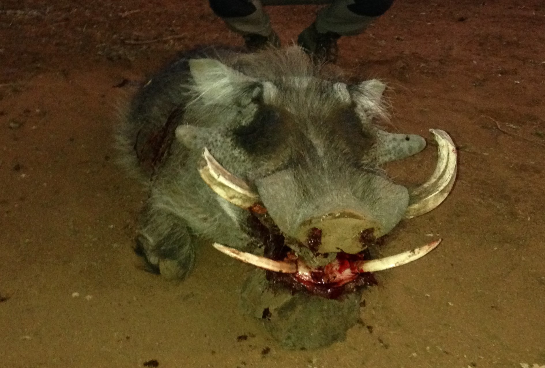My Stuck Warthog  (2).JPG