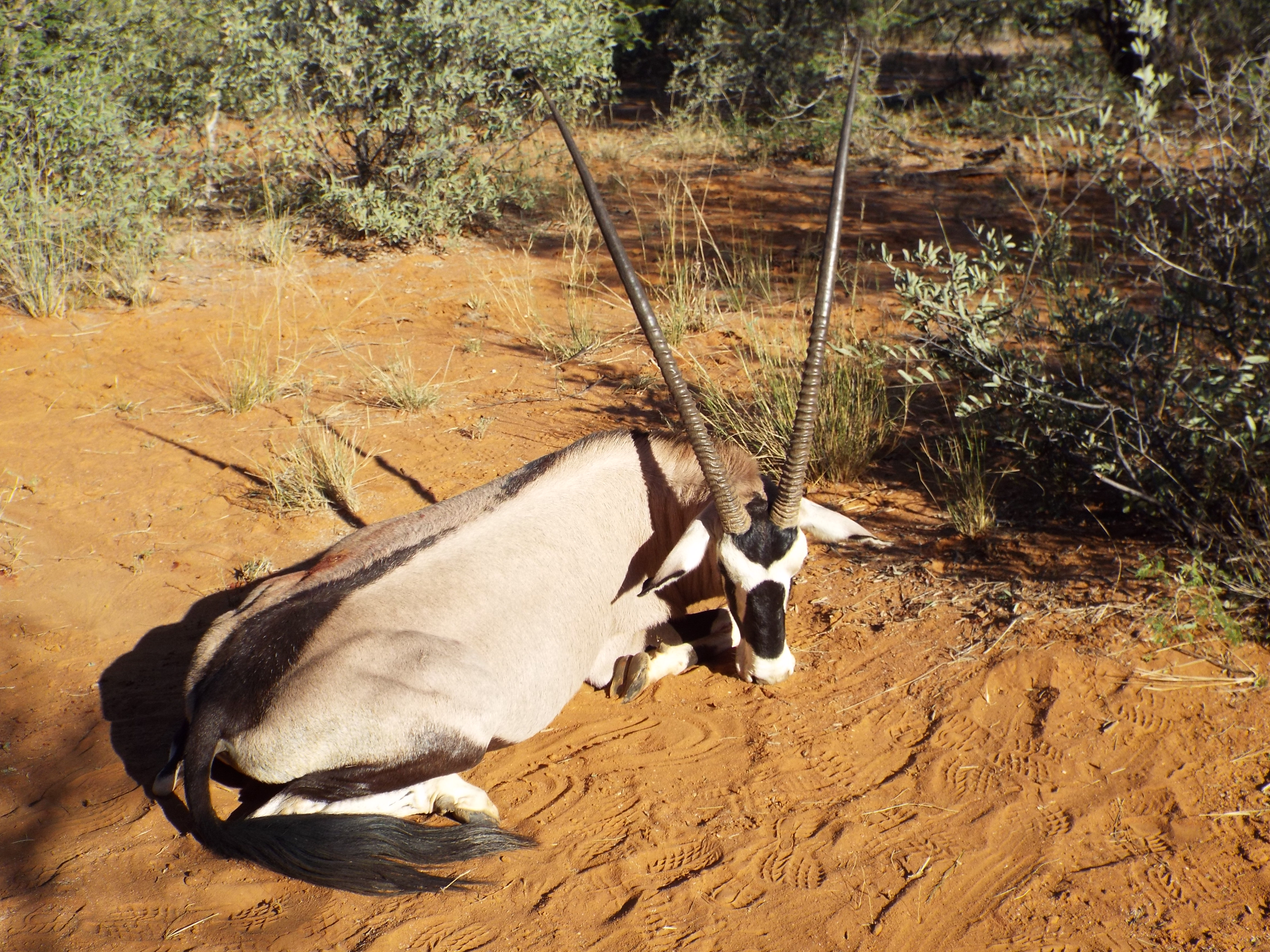 My Trophy Gemsbok.JPG