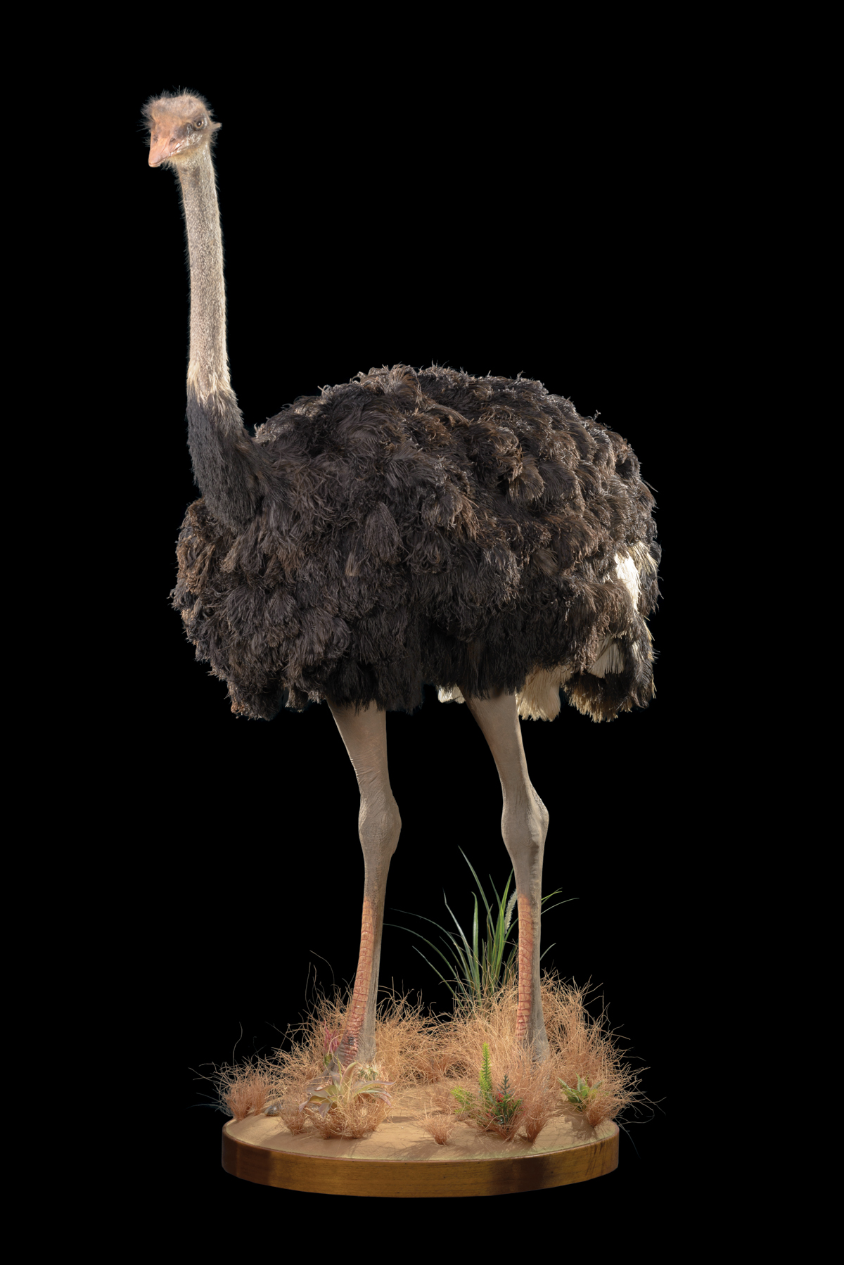 Ostrich-full-mount-dd087-1.jpg