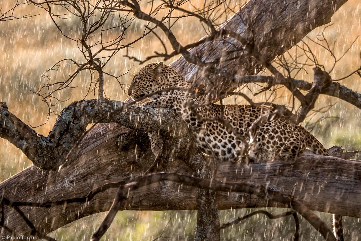 PAOLO-TORCHIO-leopard-in-the-rain-Maasai-Mara-Kenya-1.jpg