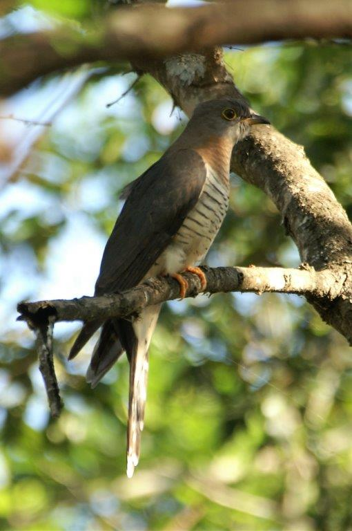 Piet my Vrou or also known as red chested cuckoo..jpg