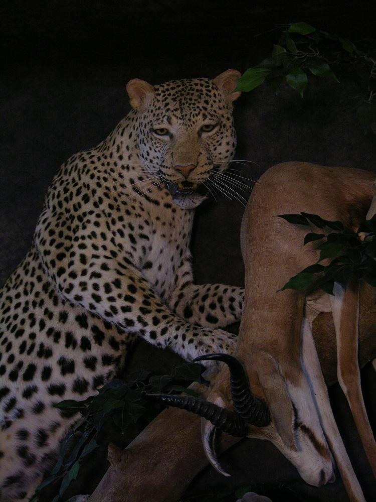 Prieto_leopard.jpg