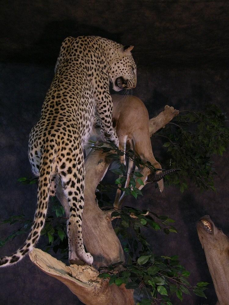 Prieto_leopard_1.jpg