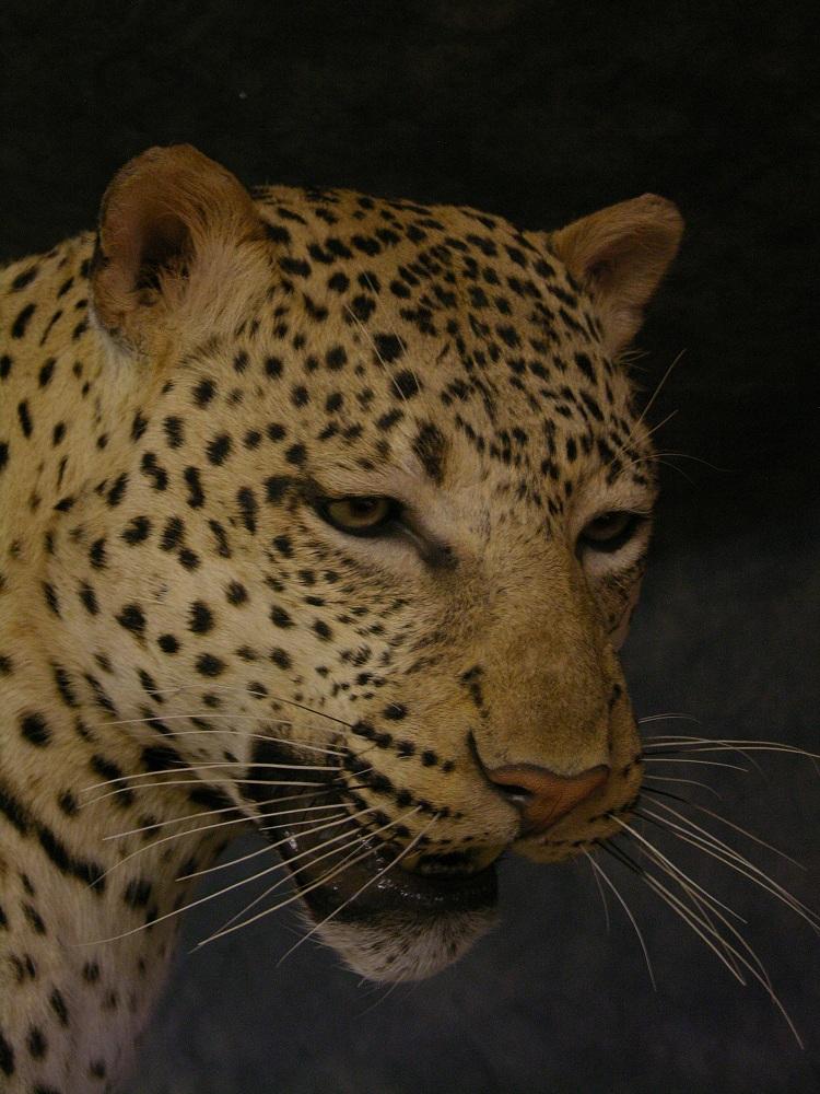 Prieto_leopard_face_shot.jpg