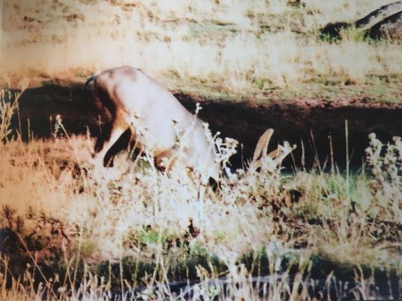 resize deer2.JPG